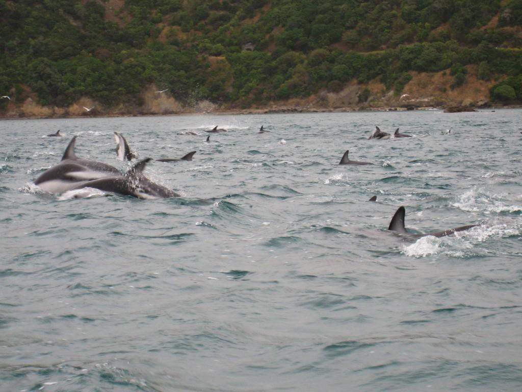 Dolfijnen zwemmen Nieuw Zeeland