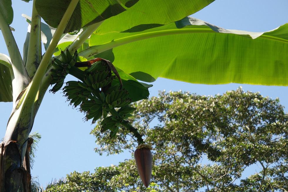 Bananen Ciudad perdida
