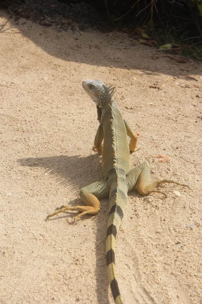 Hagedis Tayrona Nationaal park Colombia