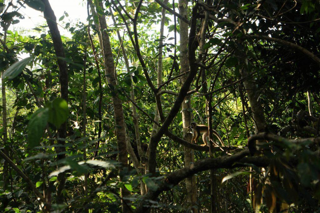 Doodshoofdaap Amazone