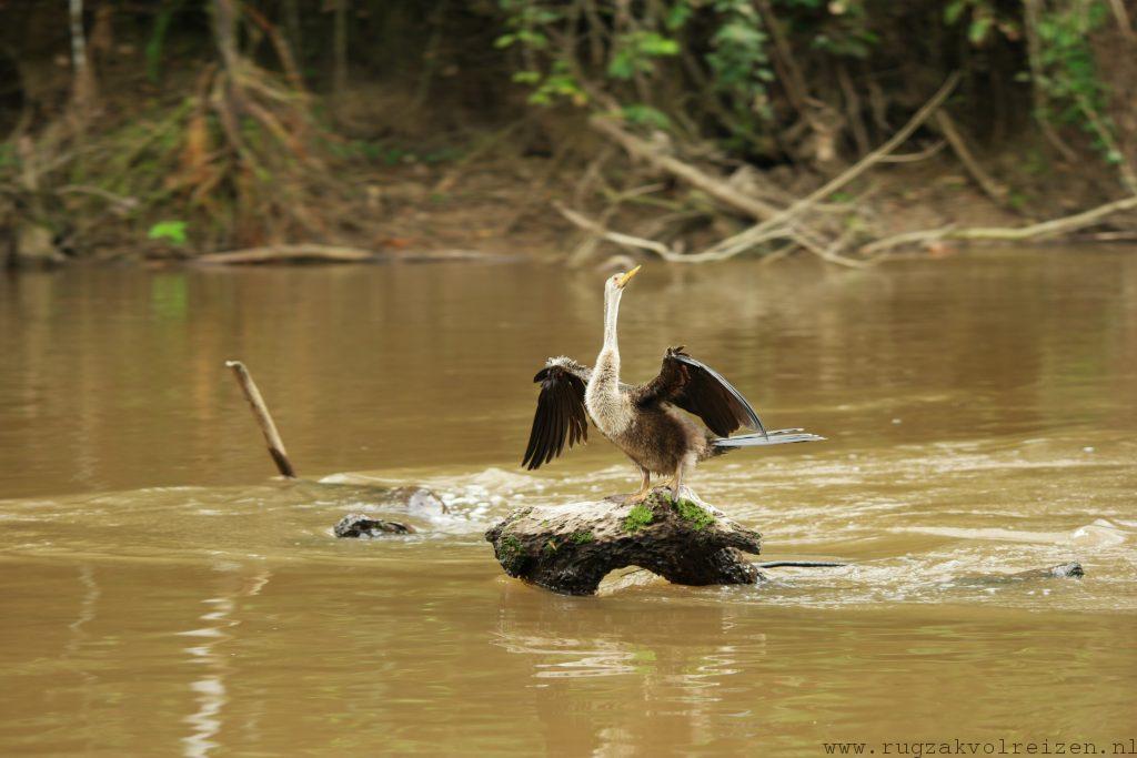 Amazone darter vogel