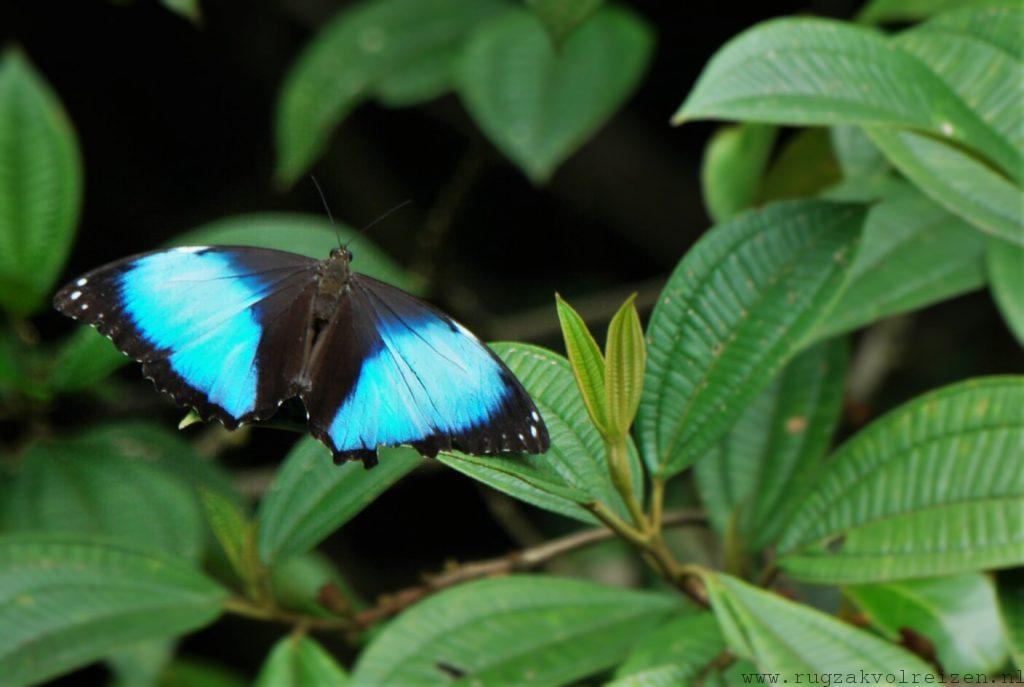 Blauwe vlinder Amazone