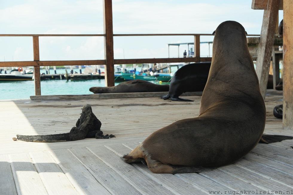 Iguana zeeleeuw Galapagos Isabela