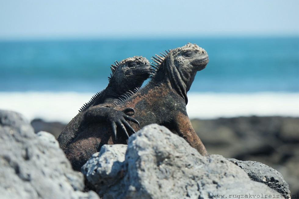 Iguanas Galapagos Santa Cruz