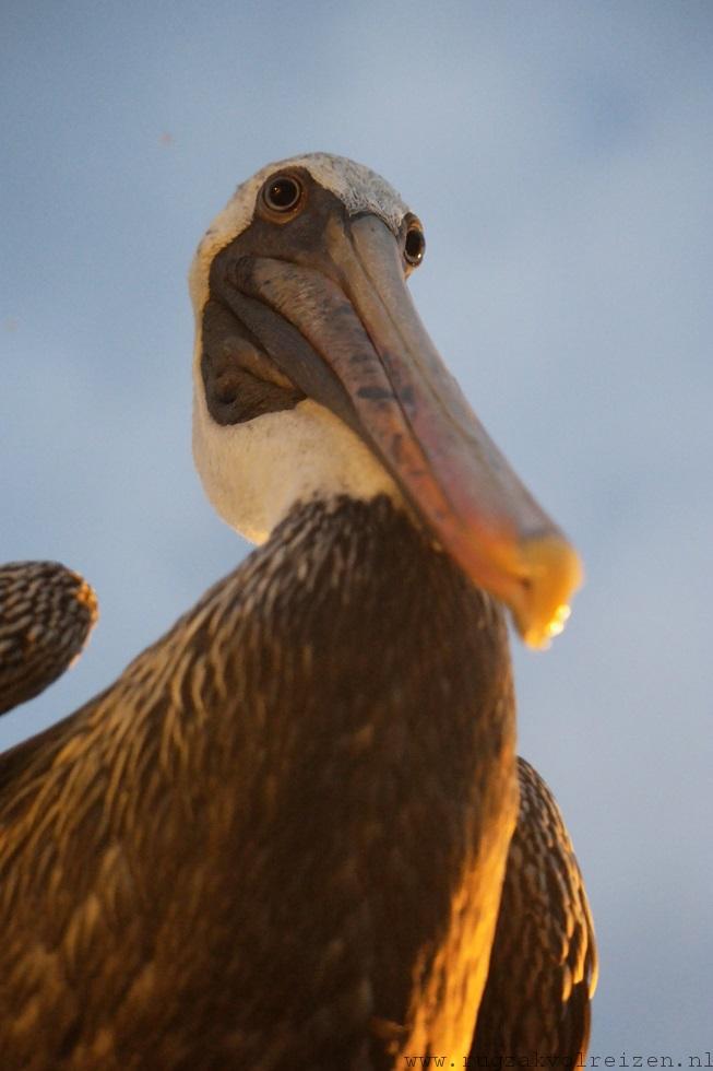 Pelikaan Galapagos