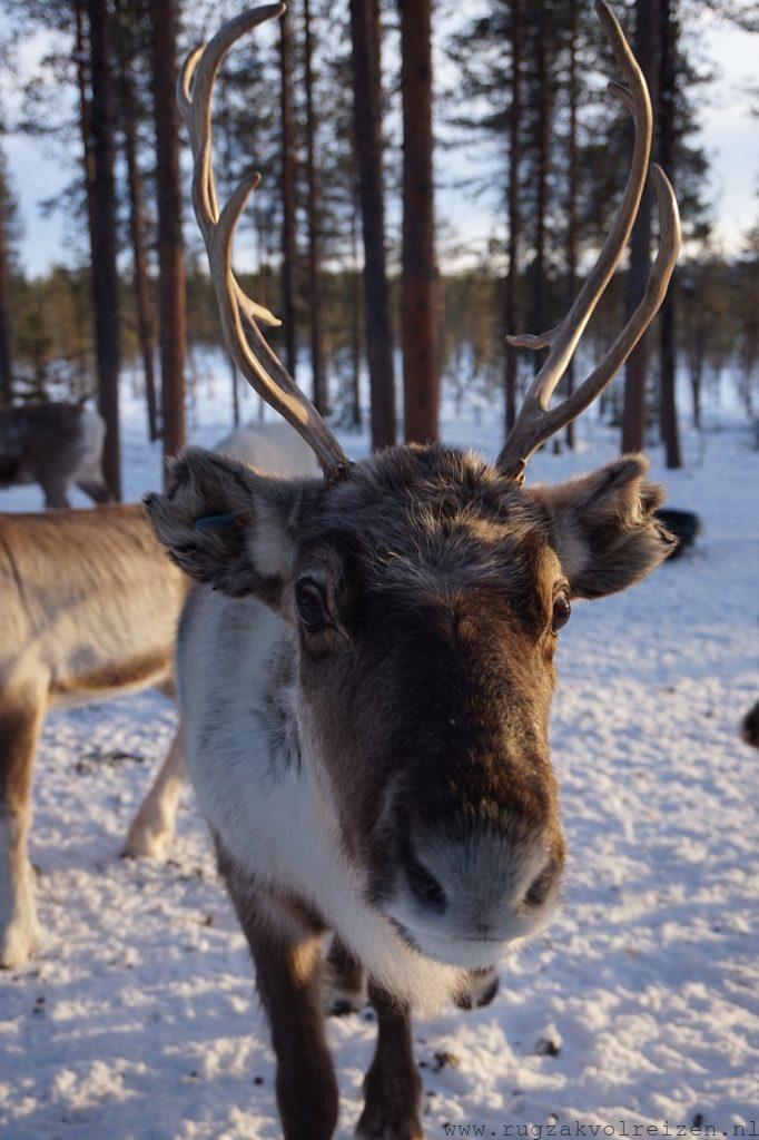 Eland in Zweden