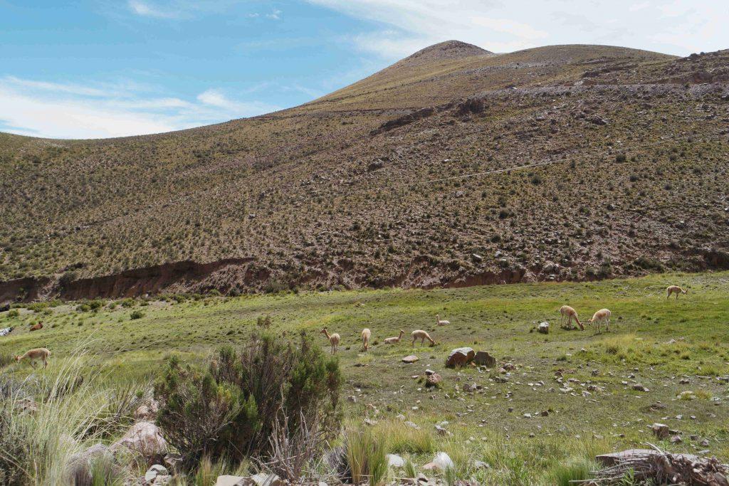 Vicuñas - Roadtrip Salta en Jujuy